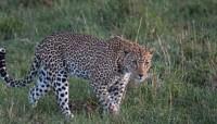 Leopard_indianbureaucracyLeopard_indianbureaucracy