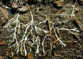 Soil fungi -Indian Bureaucracy