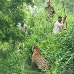 Poaching of Tigers in Sunderbans -IndianBureaucracy