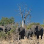 African savannas-