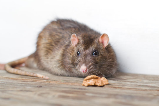 cities affecting the evolution of rats