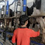 increase in milk production