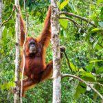 Female Borneo