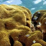 Some corals might adapt to climate