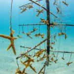 Coral bleaching increases disease risk in threatened species