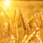 European wheat lacks climate resilience
