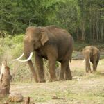 Asian elephants may lose up to 42 percent