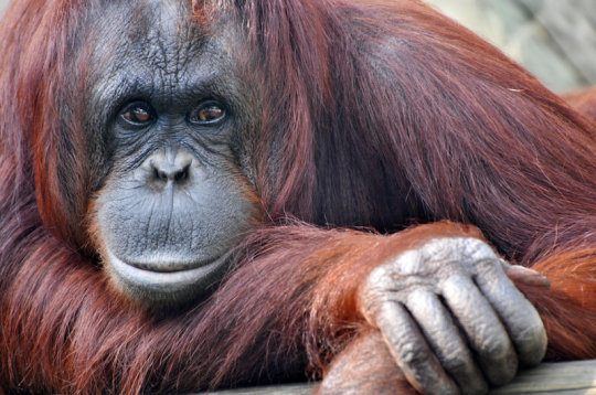 Research reveals the link between primate knuckles and hand use