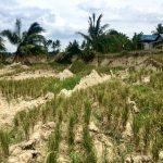 Rice irrigation worsened landslides in deadliest earthquake of 2018